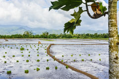 Philippinen-Reis-Sämlinge Lizenzfreie Stockfotografie