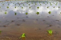 Philippinen-Reis-Sämlinge Stockfotos