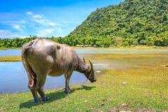 Philippinen-Wasser buffaloCarabao Stockfoto