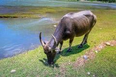 Philippinen-Wasser buffaloCarabao lizenzfreie stockfotografie