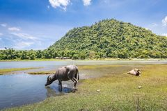 Philippinen-Wasser buffaloCarabao Stockbilder