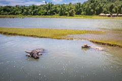 Philippinen-Wasser buffaloCarabao Lizenzfreies Stockbild