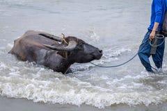 Philippinen-Wasser buffaloCarabao Stockfotografie