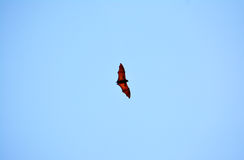 Philippines fruit bats Royalty Free Stock Images