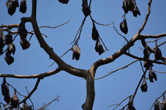 Philippines fruit bats. One of the largest bats in the world, the Philippine fruit bat can be seen in large groups hanging from a tree. These fruit bats are near stock images