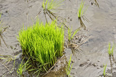 Philippines Rice Seedlings Royalty Free Stock Photos