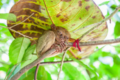 Philippines Tarsier from Bohol Stock Images