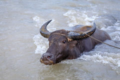 Water buffalo carabao at the river Stock Photos