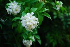 Philippinische nationale Blume ist die Gardenieblumen-Glas- oder Sampaguita-Jasminblumen lizenzfreies stockbild
