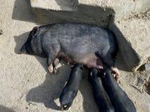 Philippinische warty Schweinmischung Hybridationsmutter mit Ferkeln stockbild