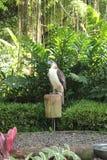 Philippinischer Adler Stockfotos