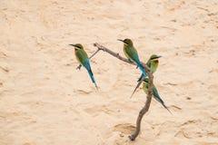 philippinus Azul-atado del Merops del Abeja-comedor Fotografía de archivo libre de regalías