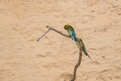 philippinus Azul-atado del Merops del Abeja-comedor Imagen de archivo