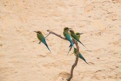 philippinus Azul-atado del Merops del Abeja-comedor Imagen de archivo libre de regalías