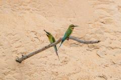 philippinus Azul-atado del Merops del Abeja-comedor Fotos de archivo libres de regalías