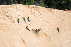 philippinus Azul-atado del Merops del Abeja-comedor Imagenes de archivo