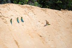 philippinus Azul-atado del Merops del Abeja-comedor Imágenes de archivo libres de regalías
