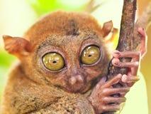 phillipine πιό tarsier Στοκ Φωτογραφίες