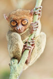 phillipine πιό tarsier Στοκ Εικόνες