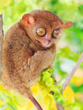 Phillipine tarsier Stock Image
