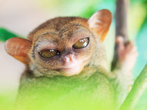 Phillipine tarsier Royalty Free Stock Images