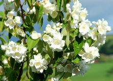 Philodelphus Mock Orange Stock Photos