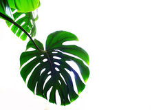 Philodendron Imagens de Stock Royalty Free