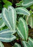 Philodendron Immagine Stock Libera da Diritti