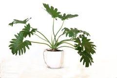 Free Philodendron Bipinnatifidum Pot Plant Stock Photo - 183459040