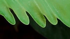 Philodendron-Blatt-Achselzucken Stockfotografie