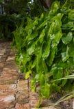Philodendron Burle Marx Arkivbilder