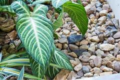 Philodendron im Garten lizenzfreies stockfoto
