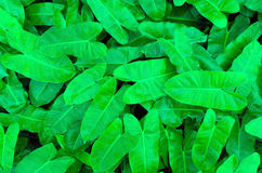 Philodendron leaves use as background Stock Images