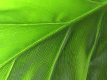 Philodendron (makrosammansättning) Arkivfoton
