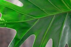Philodendron (makrosammansättning) Arkivbilder
