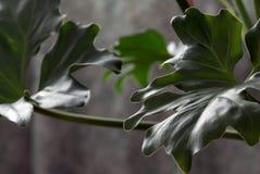 Philodendron (makrosammansättning) Arkivfoto