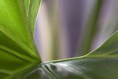 Philodendron (makrosammansättning) Royaltyfri Bild
