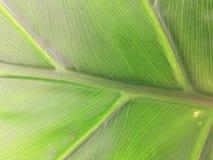 Philodendron (makrosammansättning) Fotografering för Bildbyråer