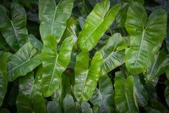 Philodendron no jardim Fotos de Stock Royalty Free