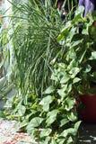 Philodendron- och Lemongrassväxter i en Sunny Window Royaltyfri Fotografi