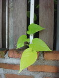 Philodendron på tegelstenstaketet Royaltyfri Bild