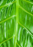 Philodendron Plant Leaf texture Stock Photography