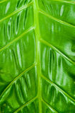 Philodendron Plant Leaf texture Stock Images