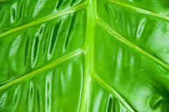 Philodendron Plant Leaf texture Royalty Free Stock Photo