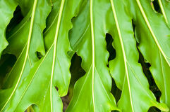 Philodendron Plant Leaf Stock Images