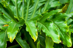 Philodendron Plant Leaf Royalty Free Stock Photo