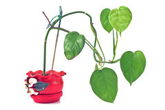 Philodendron plant in red rustic ceramic pot stock image