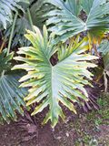 Philodendron selloum in shaded tropical garden with lush green foliage. Philodendron selloum,  Philodendron bipinnatifidum in tropical garden shaded with its Royalty Free Stock Photography
