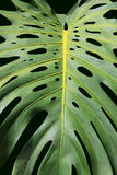 Philodendron, A Tropial Plant (Love Tree). A philodendron leaf isolated on a dark green background royalty free stock photography