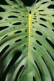 Philodendron, uma planta de Tropial (árvore de amor) Fotografia de Stock Royalty Free